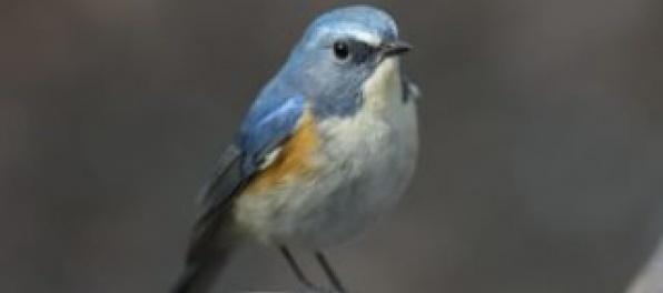 Nový vtáčí druh, ktorý priletel na Slovensko, pochádza zo severskej tajgy