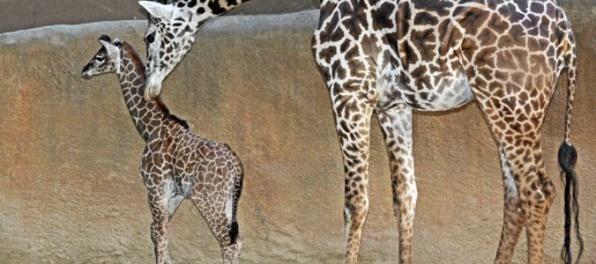 Najstaršiu žirafu Severnej Ameriky museli utratiť, Amber prišla pre šedý zákal o zrak