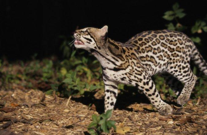 Zvieratá podľa výskumu menia svoje zvyky a vychádzajú von v noci, chcú sa vyhnúť kontaktu s ľuďmi