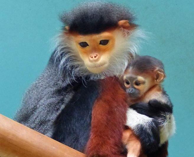 Video: Jedna z najvzácnejších opíc na svete sa narodila v českej ZOO