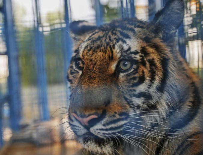 Polícia v Českej Republike zatkla troch mužov podozrivých zo zabitia tigrov