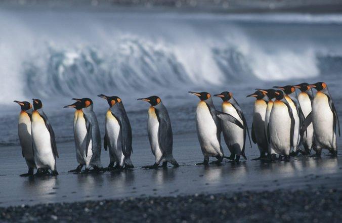 Najväčšia kolónia tučniakov kráľovských sa zredukovala, za 30 rokov ubudlo takmer 90 percent