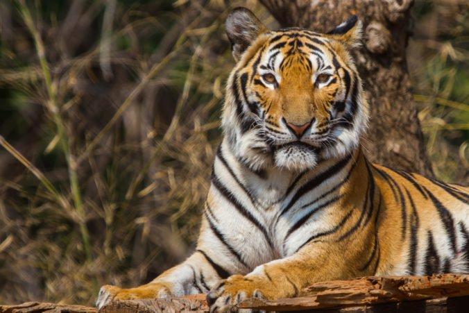 Populácia tigrov v Nepále sa takmer zdvojnásobila, o tento výsledok sa vláda roky usilovala