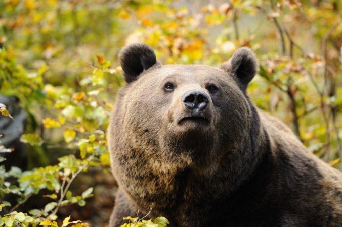 Odborníci vo Veľkej Fatre zbavili ďalšieho medveďa telemetrického obojku, získali cenné dáta