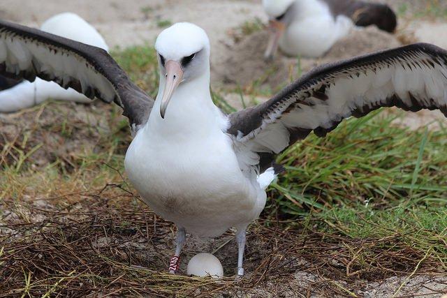 Najstarší známy morský vták čaká ďalšie mláďa, sledujú ho už od roku 1956