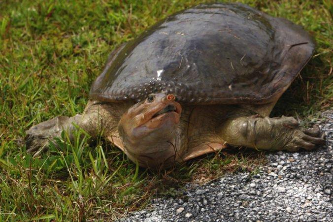 V zoo zahynula po pokuse o umelé oplodnenie korytnačka, bola jednou z posledných svojho druhu