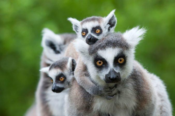 V pražskej zoologickej záhrade sa po štvrťstoročí narodilo mláďa lemura