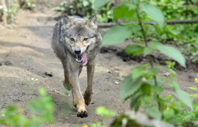 Nemecká vláda schválila zjednodušenie odstrelu vlkov, ohrozený druh je nebezpečný pre ovce