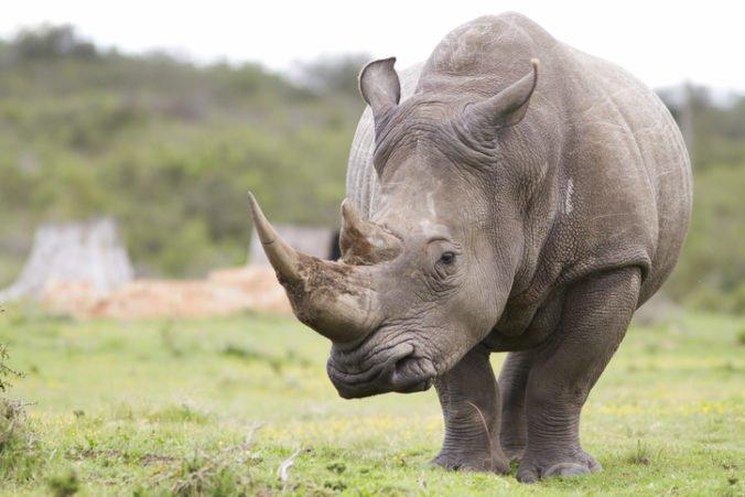 Vedci po prvý raz preniesli umelo oplodnené embryo do samice nosorožca tuponosého južného