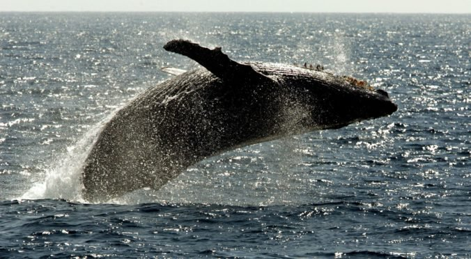 """Vedci po prvý raz zaznamenali spev vzácnej veľryby japonskej, nahrali štyri """"veľrybie piesne"""""""