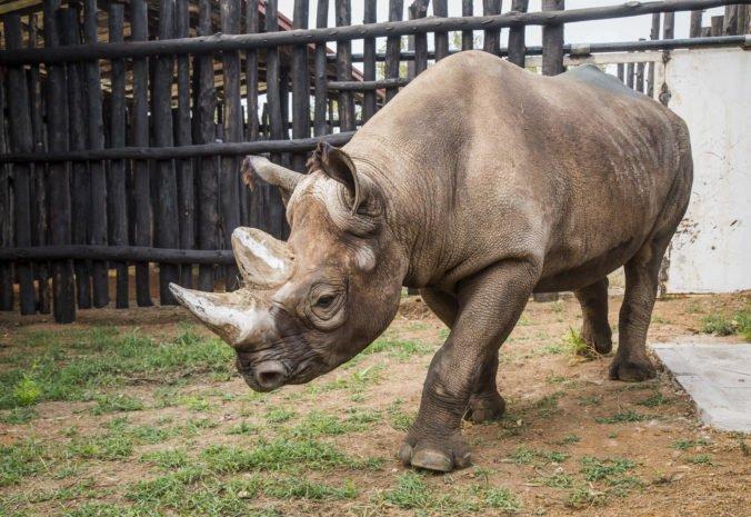 Video: Do Rwandy úspešne prepravili päť ohrozených nosorožcov čiernych, pochádzajú aj z českej zoo