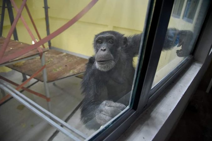 Video: Šimpanz Koko sa vyliečil z depresie, do ktorej upadol po smrti matky