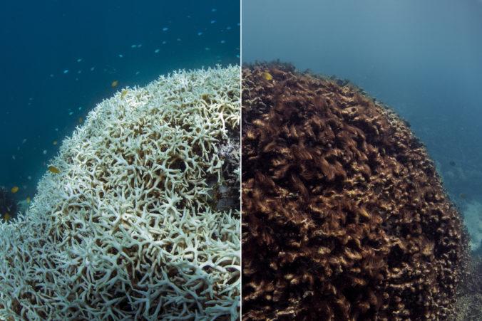 Vlny horúčav zabíjajú koraly takmer okamžite, kusy Veľkej koralovej bariéry sa začali odlamovať