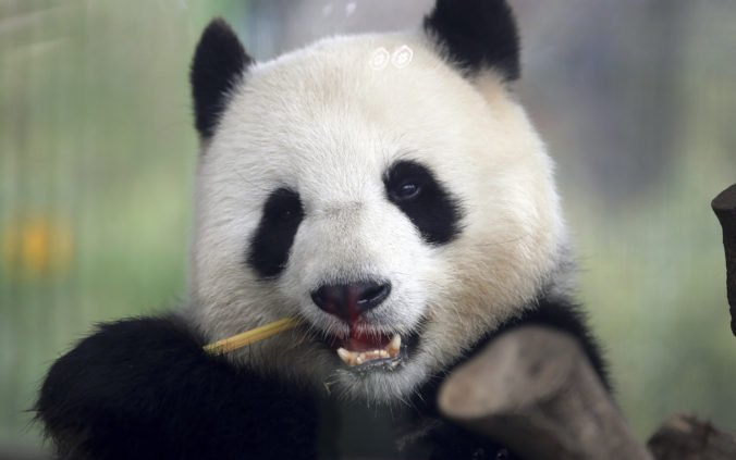 Do zoo v Berlíne by mohol pribudnúť nový vzácny prírastok, panda Meng Meng je zrejme tehotná