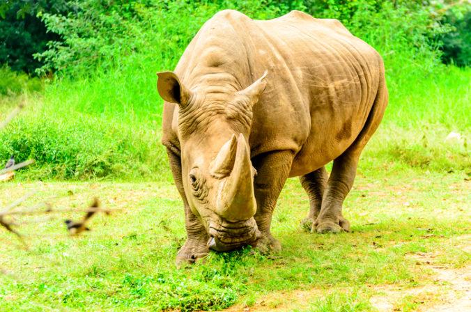 Vedcom sa podarilo z vajíčok uhynutých samcov vytvoriť dve embryá nosorožca tuponosého severného