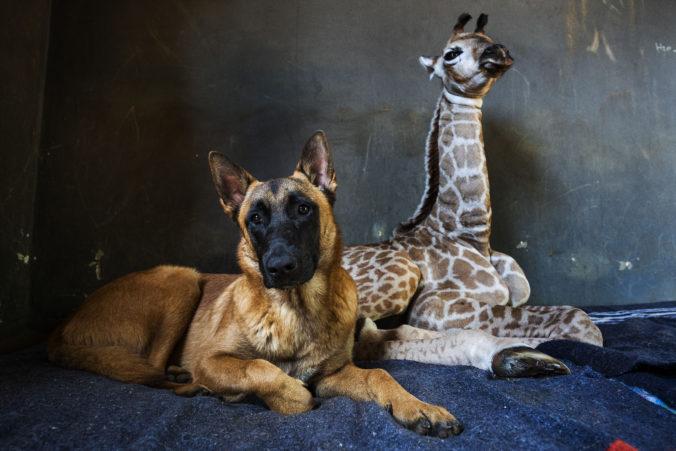 Raritný prípad v Juhoafrickej republike, medzi psom a žirafou vzniklo nerozlučné priateľstvo