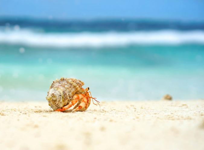 Kopy plastov na plážach zabili podľa štúdie pol milióna krabov pustovníkov