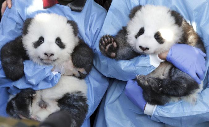 Pandie mláďatá v berlínskej zoo už majú mená, zverejnili aj ich pohlavie (video)