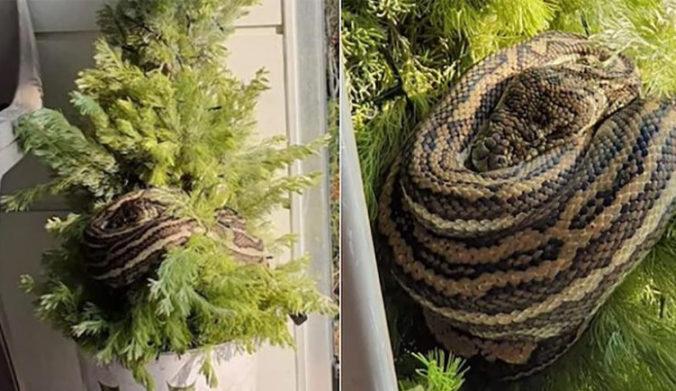 Austrálska dvojica našla na svojom vianočnom stromčeku na balkóne asi trojmetrového pytóna