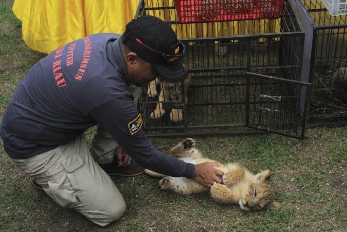 Polícia v Indonézii zatkla pašerákov, v škatuliach našli levíčatá aj mláďa leoparda (video)