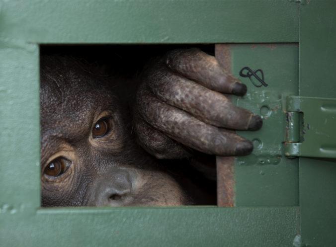 Dva orangutany vrátili do Indonézie, Colu a Gianta naložili do lietadla smerujúceho do Jakarty