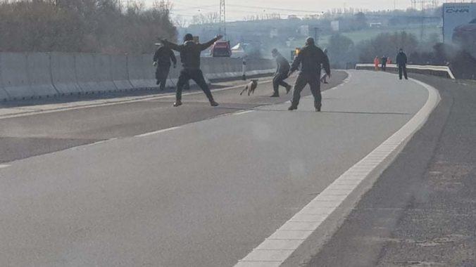 Dopravu na diaľnici D1 zastavili splašené ovce, v Košiciach sa prechádzal diviak (foto)