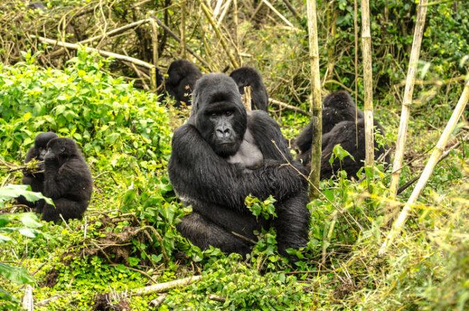 Africké štáty zakázali pre koronavírus pozorovanie goríl, obávajú sa ich nakazenia