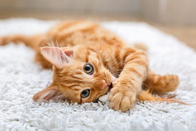 Domáce mačky ročne zabijú v Austrálii milióny zvierat, v Perthe znížili populáciu jašterice