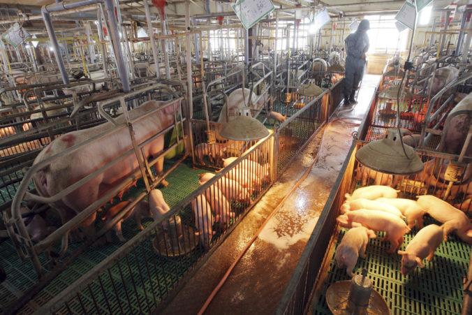 Nigérijské farmy zasiahla najhoršia vlna afrického moru ošípaných, utratiť museli státisíce prasiat