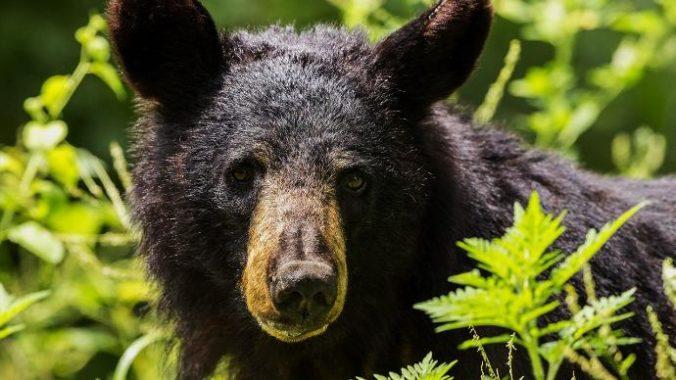 Na mladú ženu zaútočil medveď, zachovala duchaprítomnosť a omráčila ho laptopom (video)