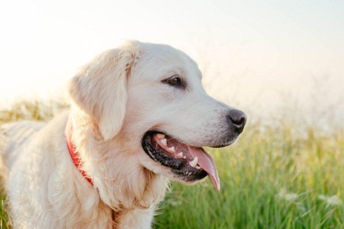Koľko má váš pes ľudských rokov? Vedci zistili nové fakty o ich starnutí, aj to kedy sú v puberte