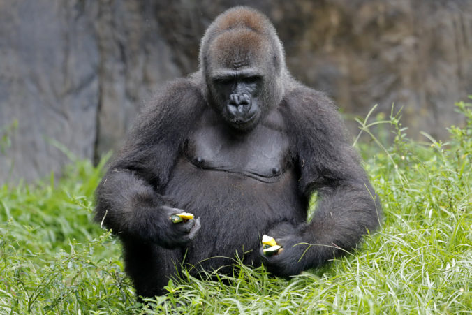 Kriticky ohrozená gorila v americkej zoo očakáva potomka, učia ju ako správne držať novorodenca (foto)