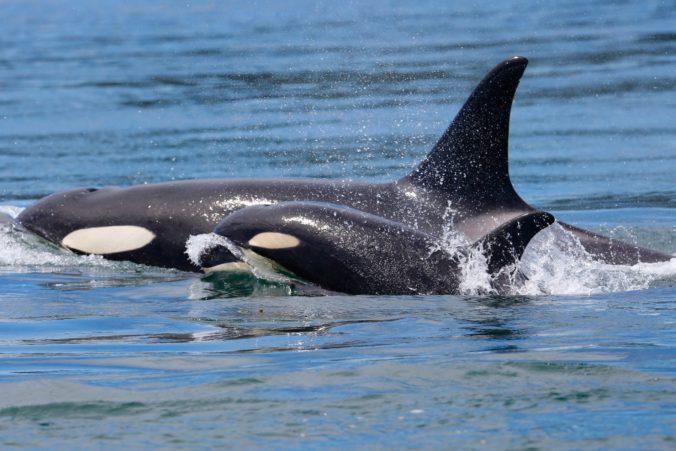 Kosatka Tahlequah, ktorá plávala niekoľko dní s mŕtvym mláďaťom, čaká ďalšieho potomka