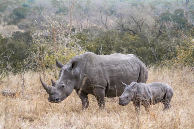 V ugandskej rezervácií sa narodilo vzácne mláďa nosorožca tuponosého južného