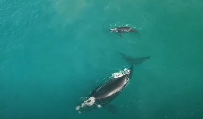 Ženu počas potápania zranil vráskavec dlhoplutvý, zrejme chcel ochrániť svoje mláďa