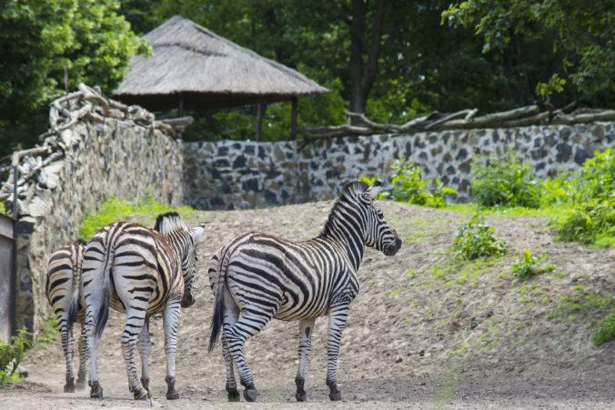 V uliciach Piešťan pobehovala zebra, zviera museli pre bezpečnosť vodičov uspať