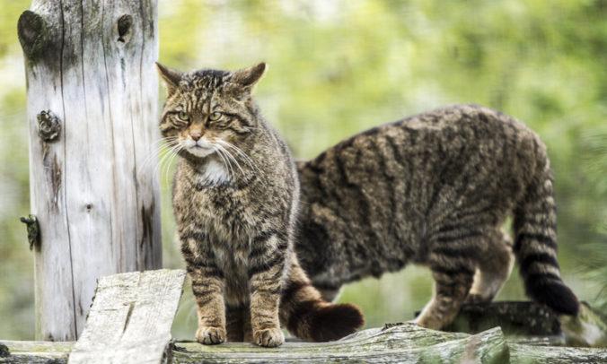 Škótskej mačke divej hrozí vyhynutie, vznikne centrum pre ich záchranu