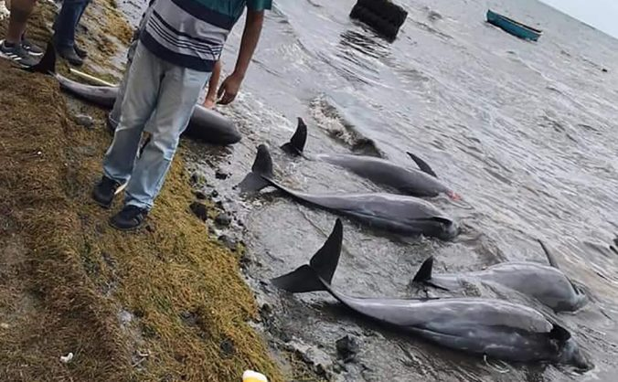 Únik paliva z lode pri Mauríciu si vyberá svoju daň, na pobrežie vyplavilo 39 mŕtvych delfínov (video)