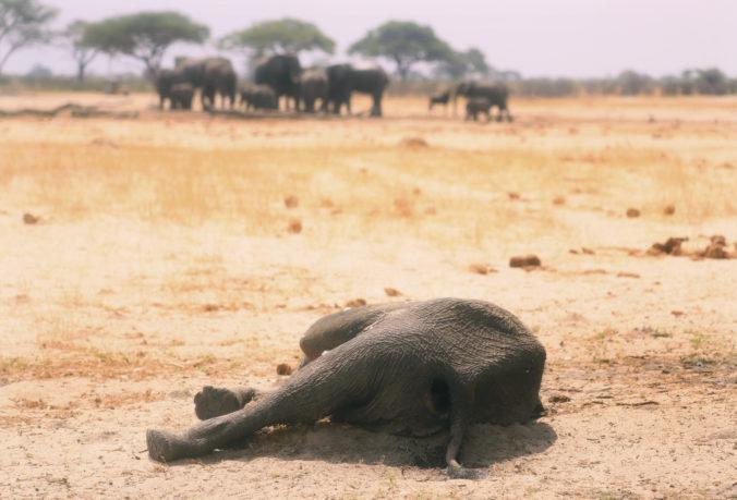 V Zimbabwe vyšetrujú úmrtie jedenástich slonov, prípad pripomína záhadnú smrť zvierat v Botswane