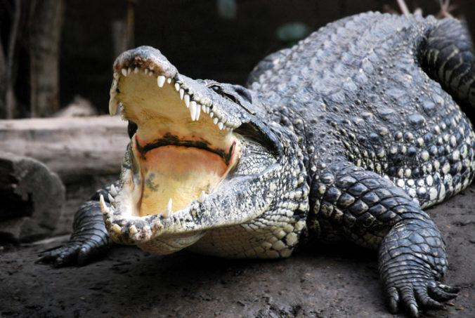 V austrálskom Severnom teritóriu chytili veľkého krokodíla, skončil na krokodílej farme