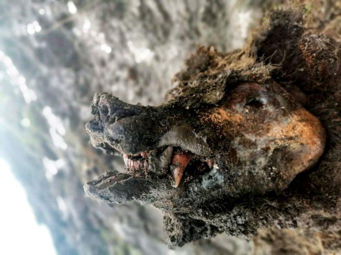 Pastieri sobov našli na Ľachovských ostrovoch dokonale zachované telo medveďa z doby ľadovej