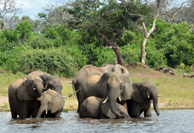 Laboratóriá zistili príčinu záhadného úhynu slonov v Botswane, zabili ich sinice