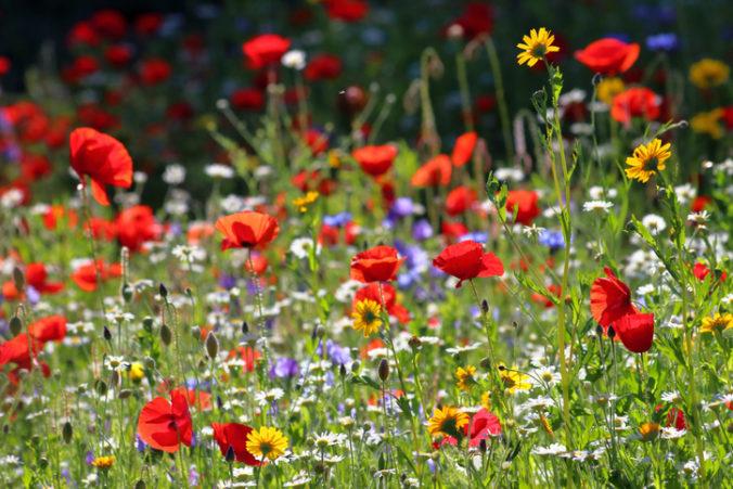 Na sídlisku v Dubnici nad Váhom vznikne veľká kvetinová lúka, mesto zníži frekvenciu kosenia