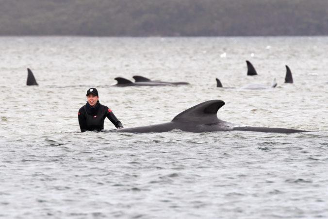 Na západnom pobreží Tasmánie uviazli stovky veľrýb, takmer 400 zvierat už uhynulo (foto+video)