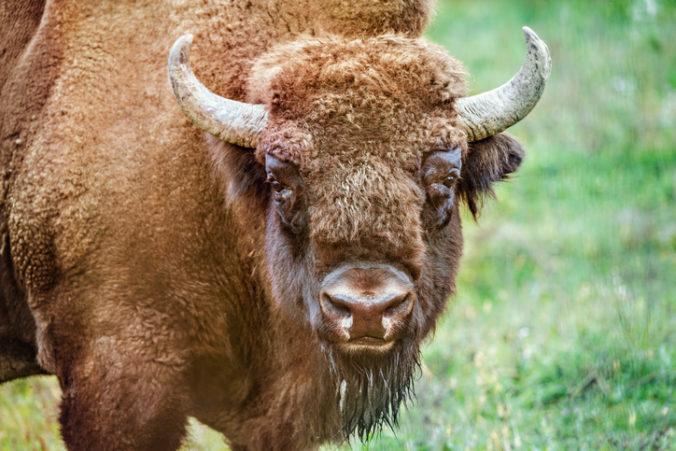 Veľký kaňon spúšťa netradičnú lotériu, šťastlivci budú môcť poľovať na bizóny