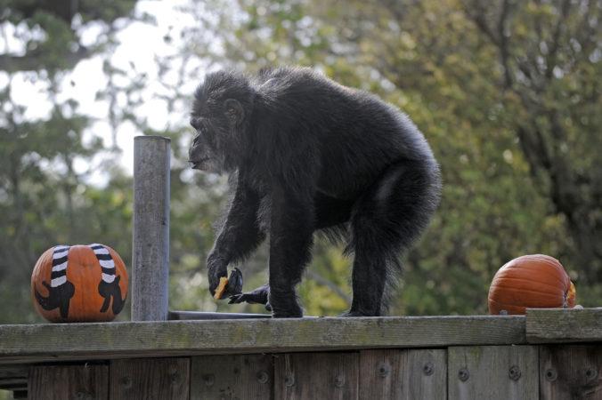 ZOO v San Franciscu prišla o svojho obyvateľa, šimpanz Cobby sa dožil 63 rokov