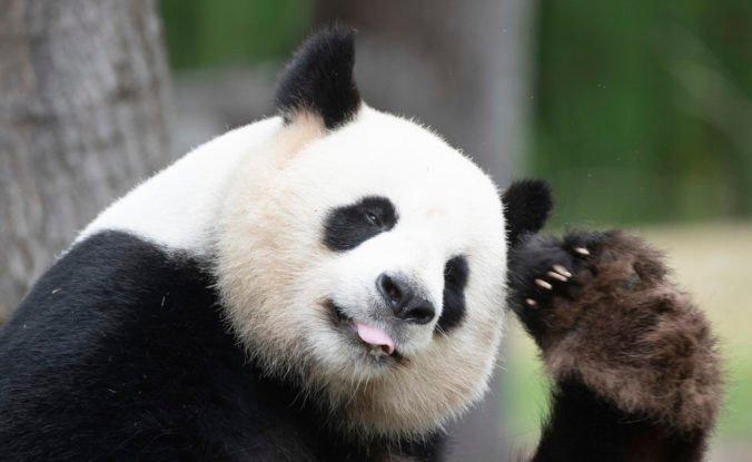 Pandy už v Číne nepatria medzi ohrozené živočíchy, zachránilo ich dlhodobé úsilie ochranárov