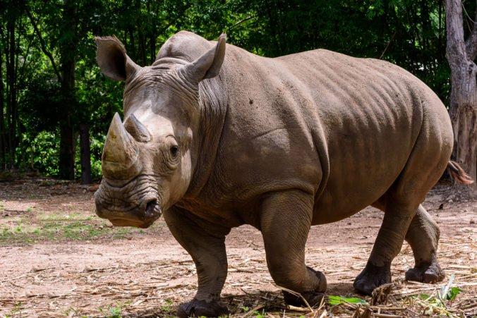 Ig Nobelove ceny sú rozdané, vyhral výskum nosorožcov zavesených hore nohami či odblokovanie upchatého nosa orgazmom