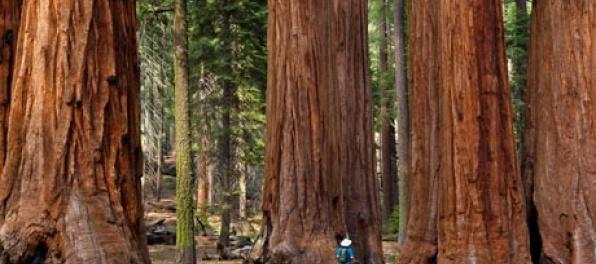 Najväčšie stromy na svete