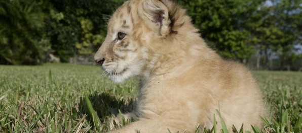 Viete aké zviera vznikne krížením leva a tigra?